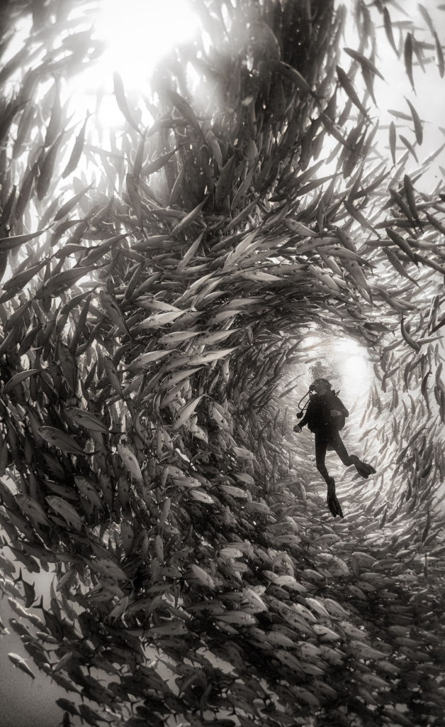 Photo and caption by Anuar Patjane Surrounded by a swarm of jack fish in Cabo Pulmo National Park, Mexico. Cabo Pulmo is the best example of a recovered reef in Mexican seas. A few years ago the fisherman of Cabo Pulmo fished all the reef to the point that fishing stopped being a way to sustain their households and life in the reef was obliterated. So they decided to totally stop fishing and few years latter the reef recovered to an astonishing level, and it is today the best example of what the Sea of Cortes used to be like