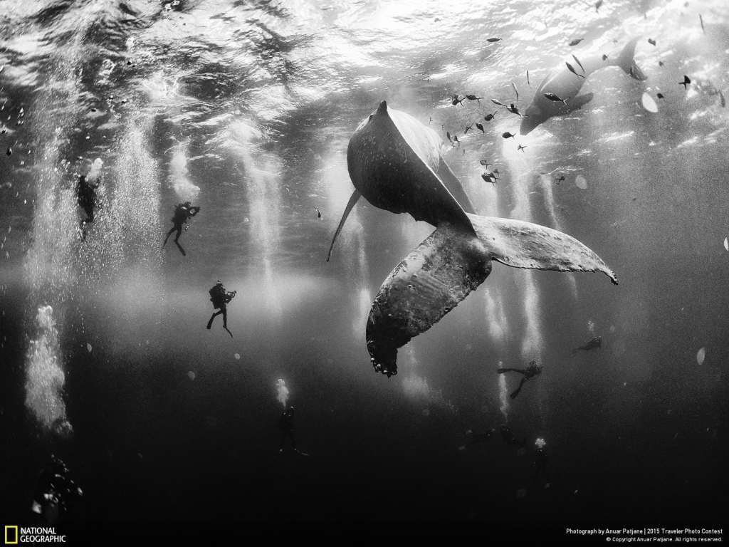 Photo and caption by Anuar Patjane Diving with a humpback whale and her newborn calf while they cruise around Roca Partida … in the Revillagigedo [Islands], Mexico. This is an outstanding and unique place full of pelagic life, so we need to accelerate the incorporation of the islands into UNESCO as [a] natural heritage site in order to increase the protection of the islands against the prevailing illegal fishing corporations and big-game fishing.