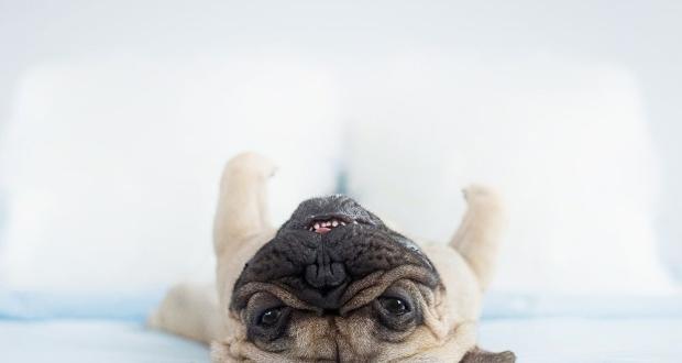 upside down pups Garfunkel