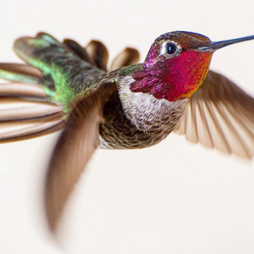Hummingbirds, by Tracy Johnson