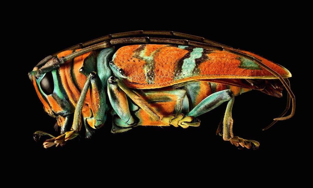 Macrophotos Longhorn Beetle